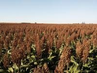Sorghum Lines for Seed Production