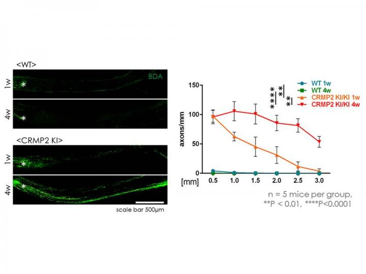 Prominent Regeneration of Optic Nerve after Injury in CRMP2 Knock-in Mice