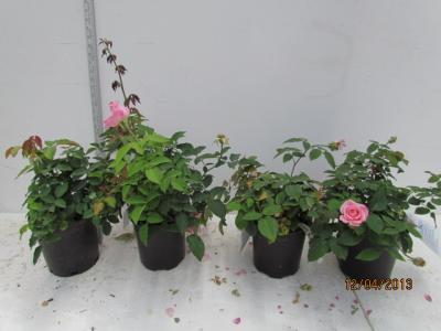 Earth-Kind® Roses Analyzed for Salt Tolerance