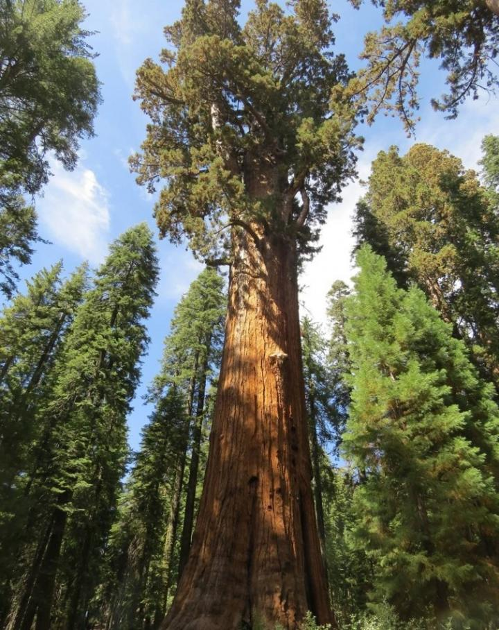 How the Giant Sequoia Protects Itself
