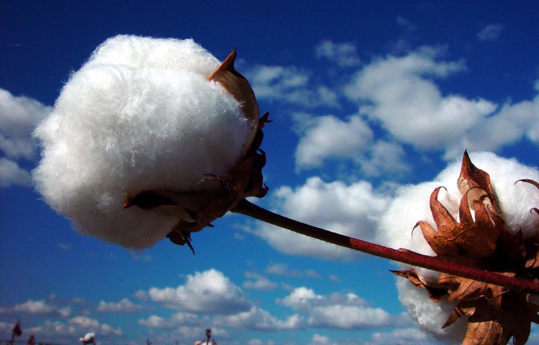 Upland Cotton (Gossypium Hirsutum) Boll against a Blue Sky
