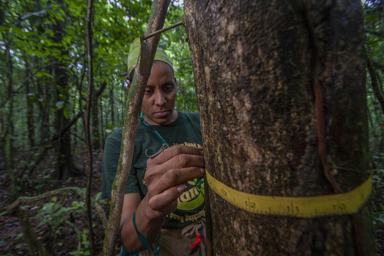 Measuring tree diameters in Panama