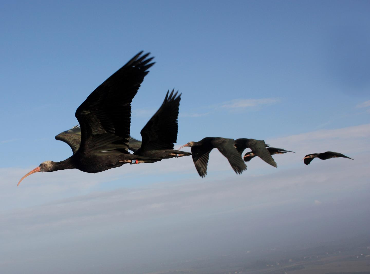 Ibis Flying in Formation