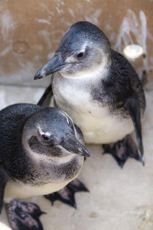 Two Juvenile African Penguins