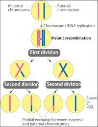 Genetic Exchange through Meiotic Recombination