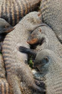 Banded Mongooses (2 of 3)