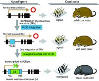 Relationship between Classical Mutation Nonagouti and Japanese Fancy Mouse