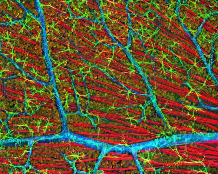 Optical Layer, Mouse Retina, National Center for Microscopy, UC San Diego