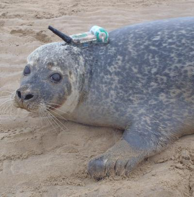 Harbor Seal Tagged With A GPS Phone Tag