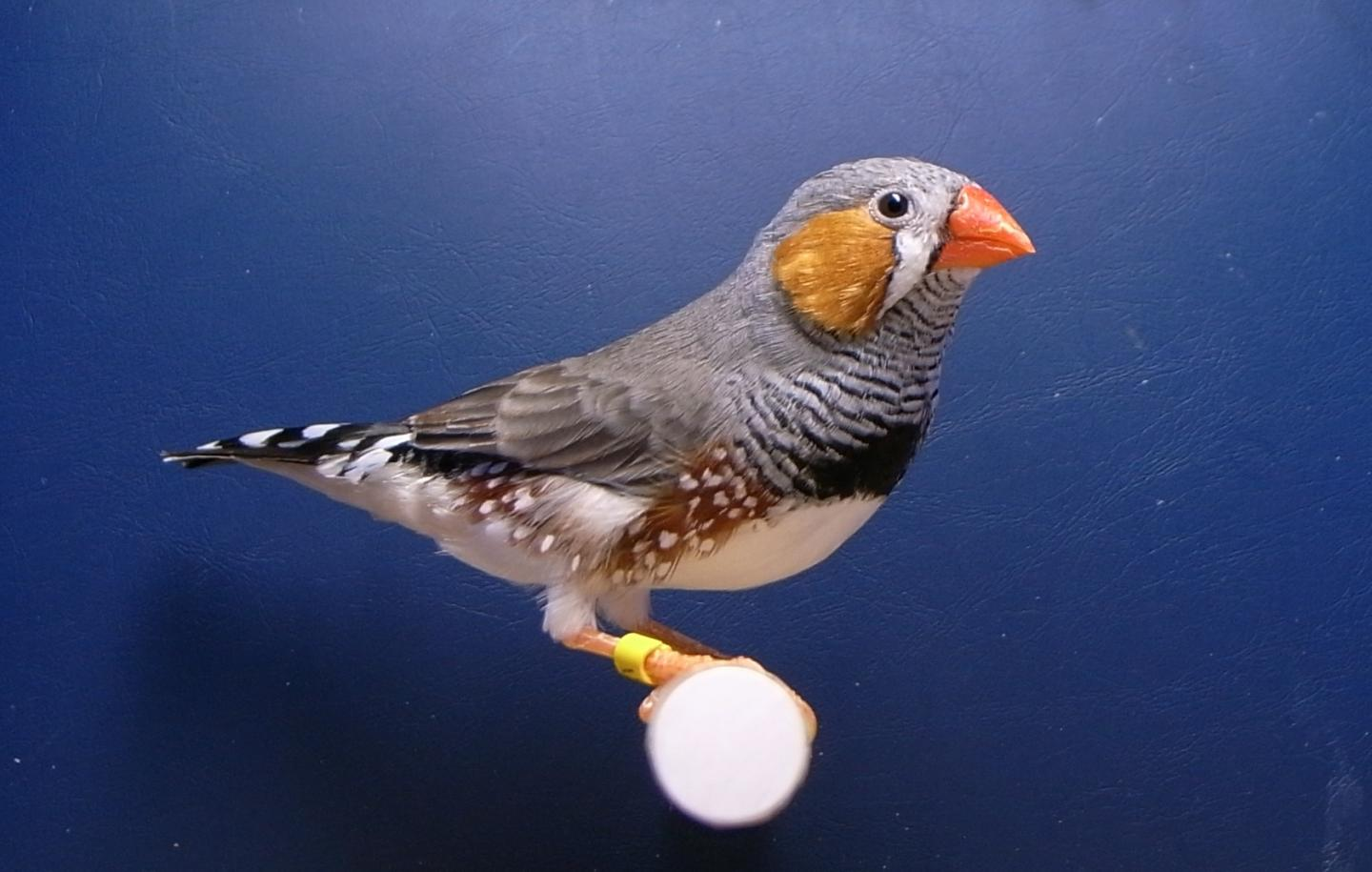 The Zebra Finch Used in the Study
