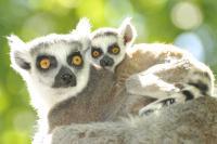 Lemur Moms