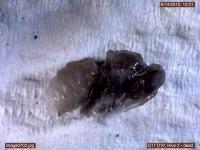Dead Larva