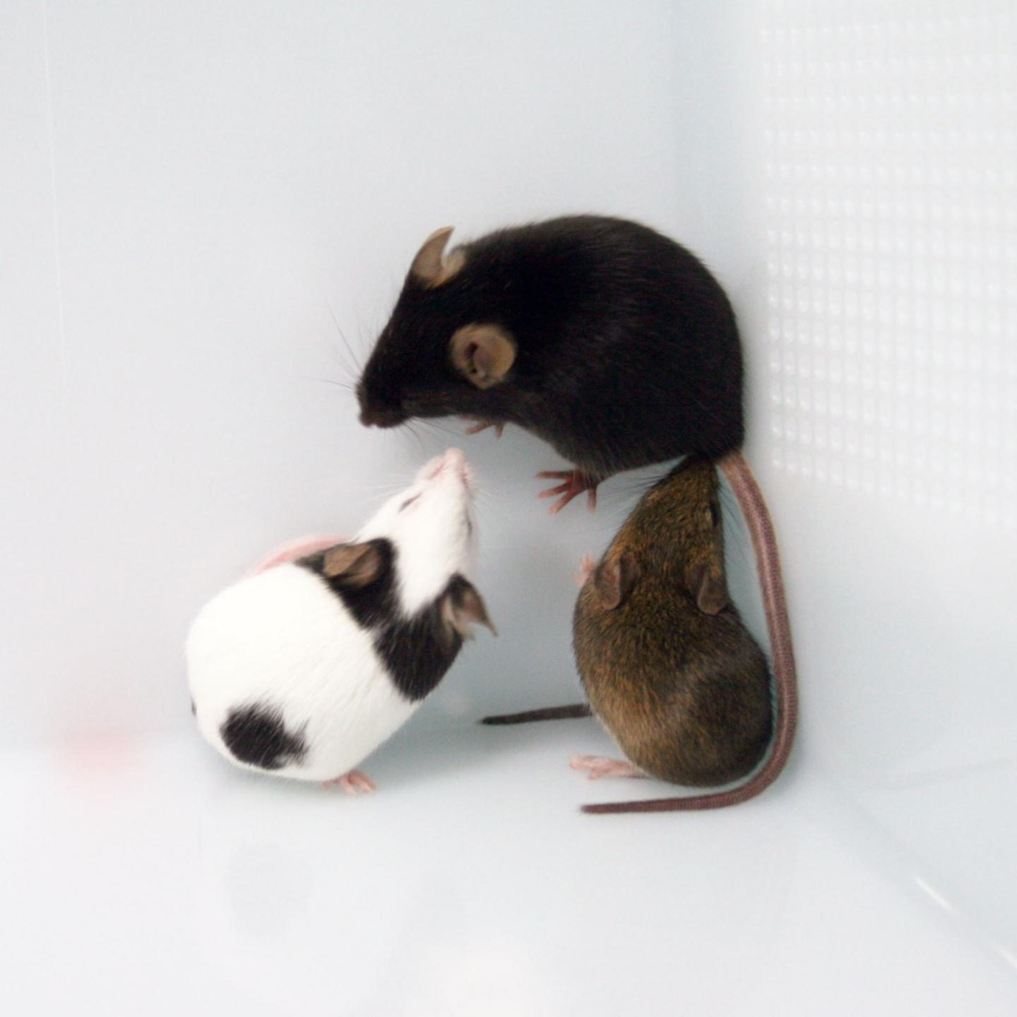 Mice Strains with Different Coat Colors