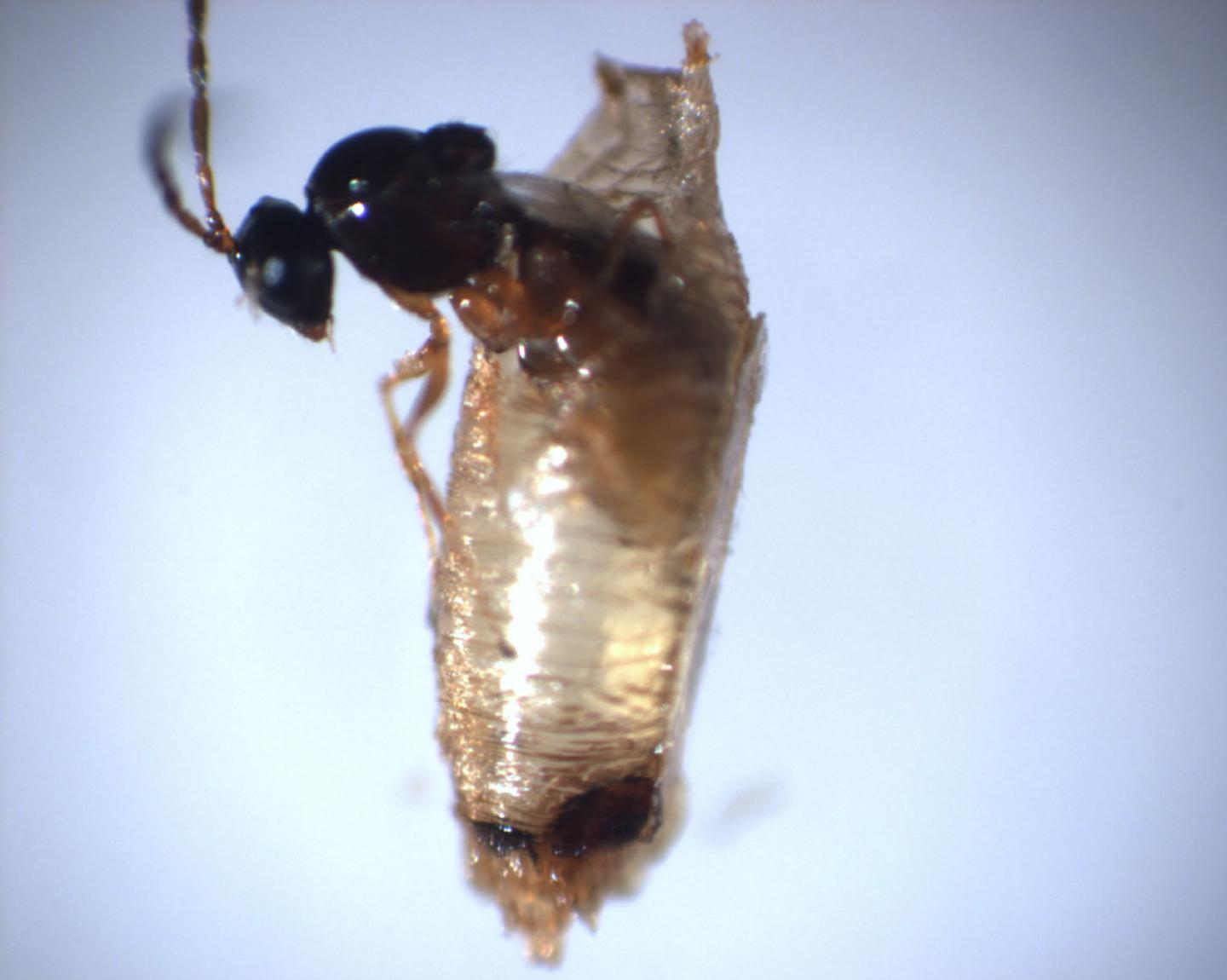 CCNY-led Research Team Identifies New Organelle in Parasitic Wasp Venom