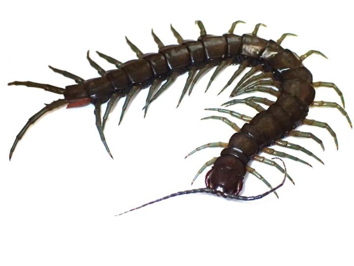 Photograph of the Newly Discovered Scolopendra alcyona