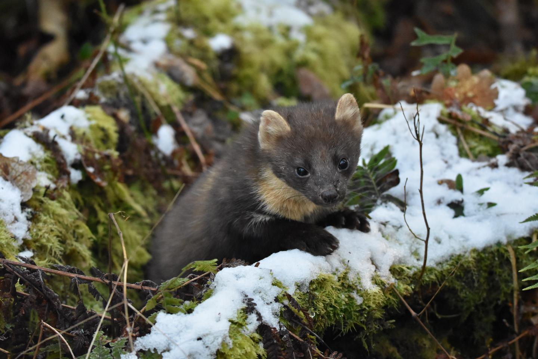 Pine Marten in the Snow in Northern Ireland Woodland