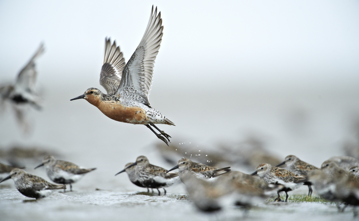 Red knot in the Wadden Sea National Park