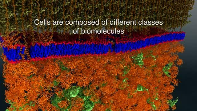 Neutrons Provide the First Nanoscale Look at a Living Cell Membrane