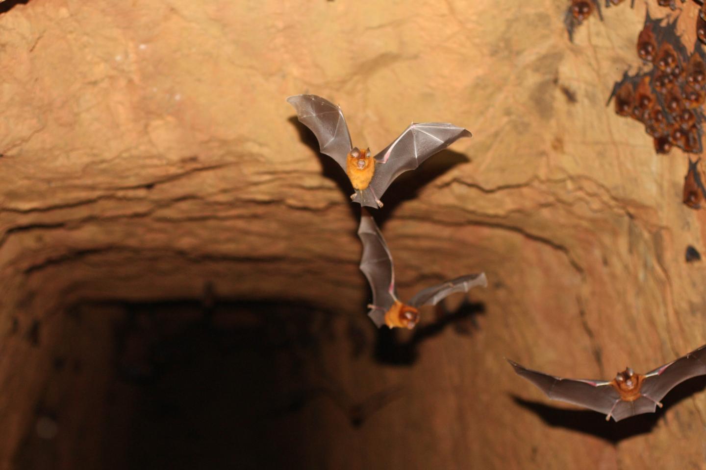 New Bat Species 3