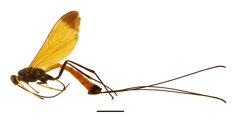 <em>Dolichomitus meii</em> Wasp