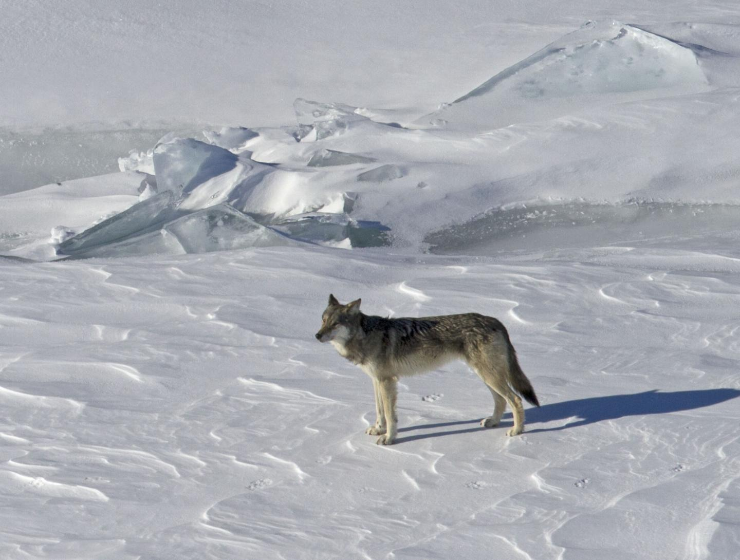 Wolves and Endangered Species
