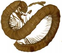 The Newly Described Millipede Rendered