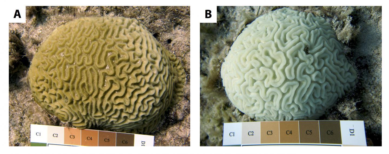Silliman Coral Compared