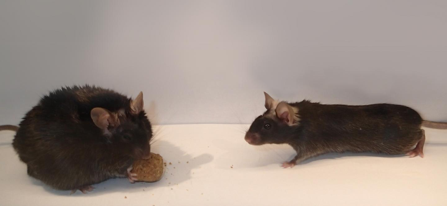 Obesity Caused by Mice Lacking Enzyme in Brain Cells