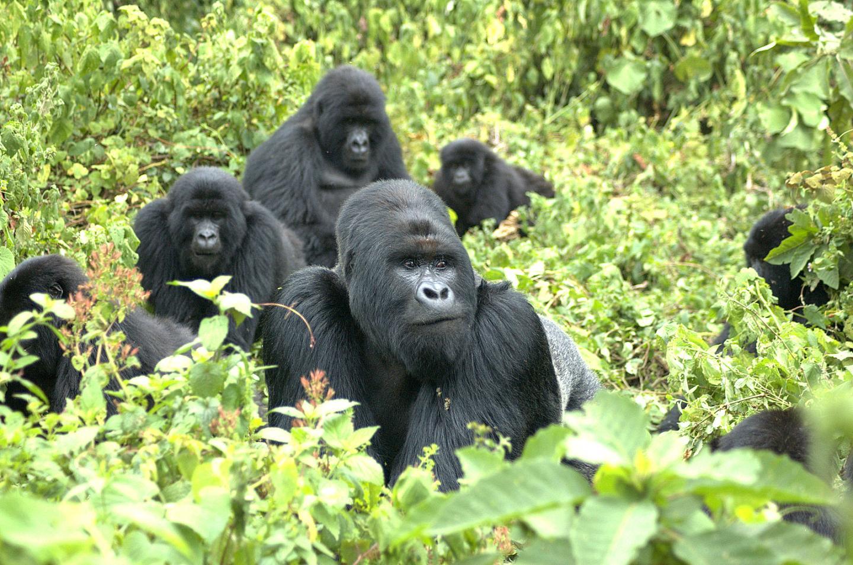 A Family of Mountain Gorillas