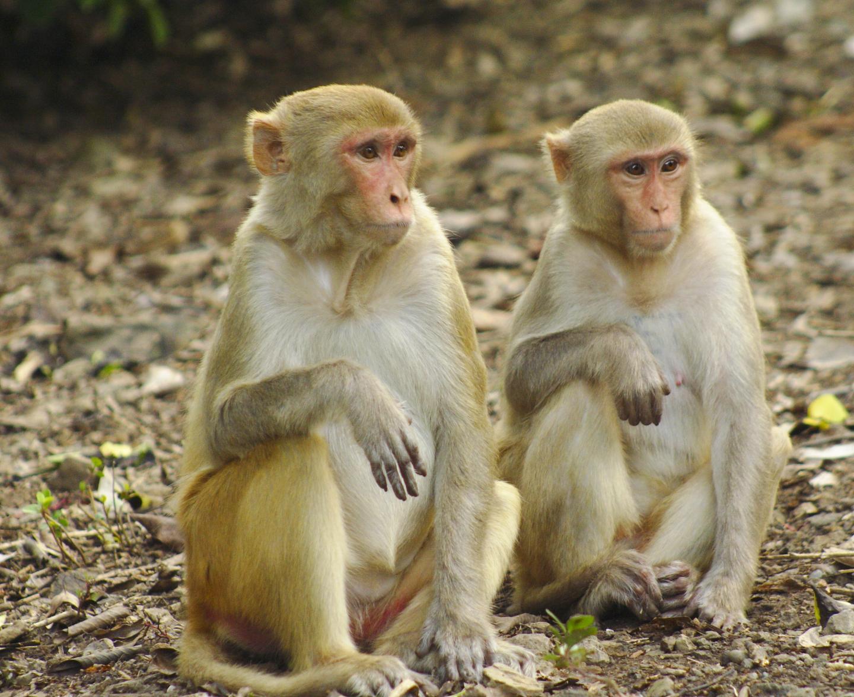 Macaque Social Ties