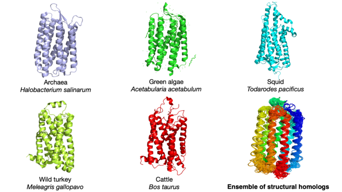 Illustrations of rhodopsin protein structures in five different species