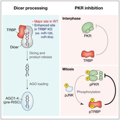 Dual Function of TRBP