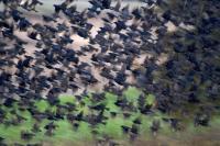 Cowbird Flock