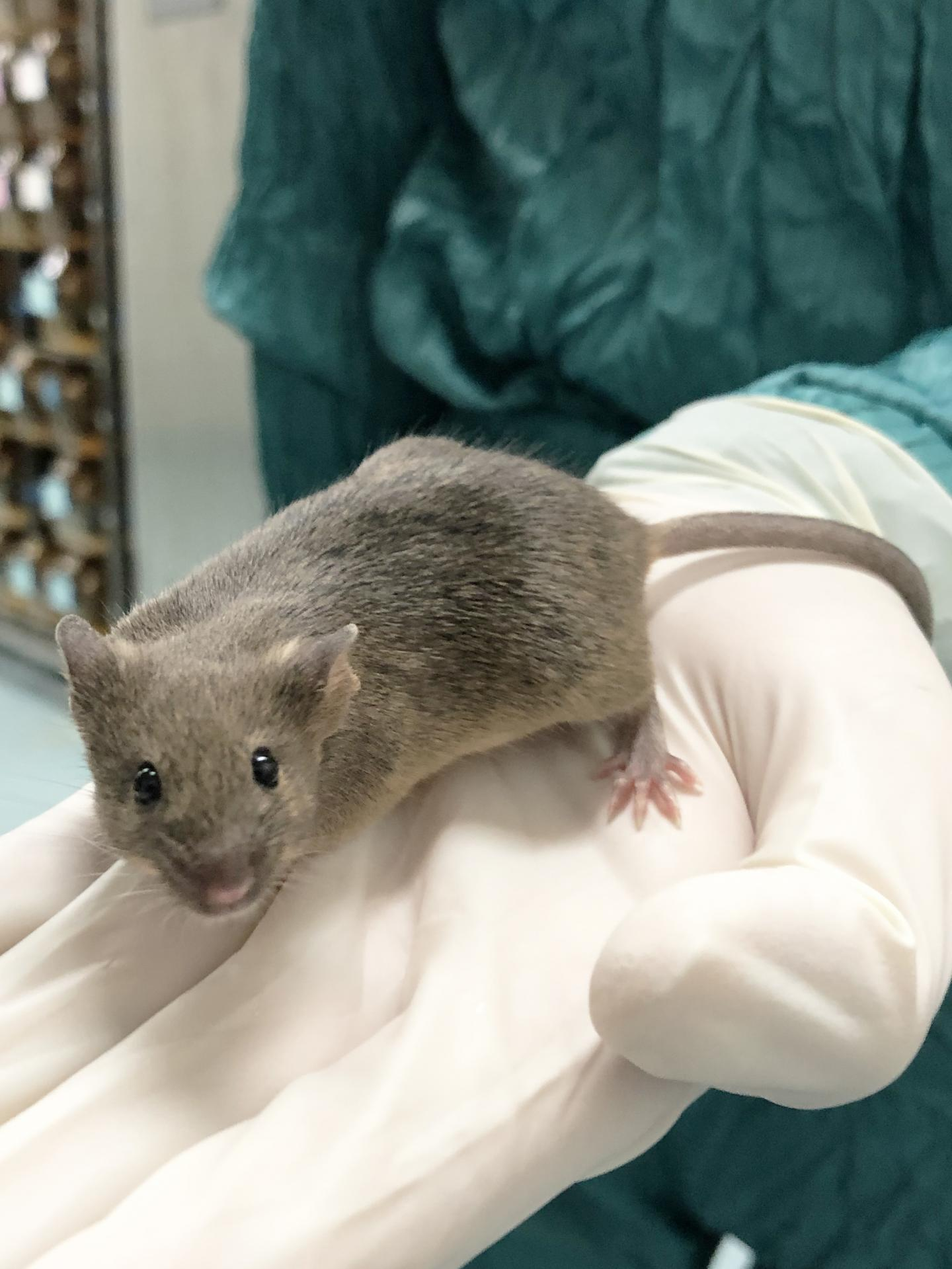 Mouse Born from Granulosa-Derived Egg