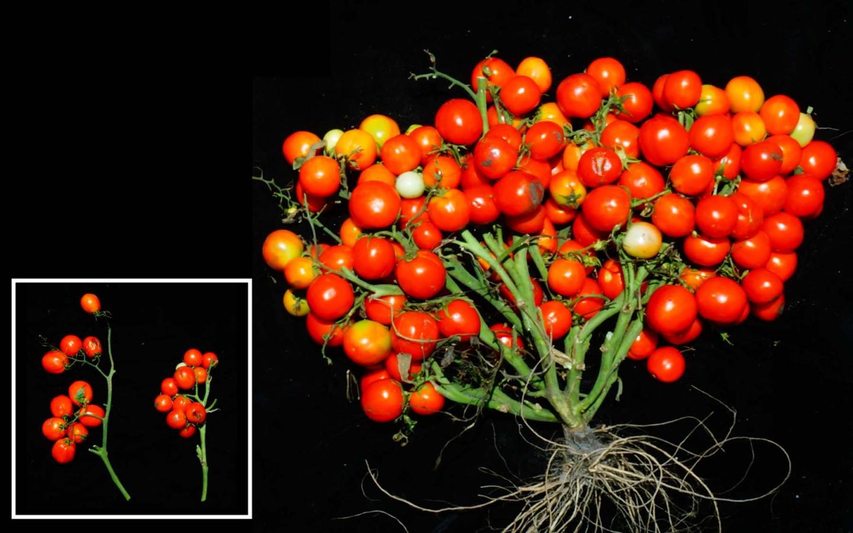 Triple Determinate Mutations in Tomatoes