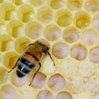 Feeding Larvae