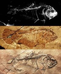Skeleton of the Primitive Flatfish <i>Heteronectes</i>