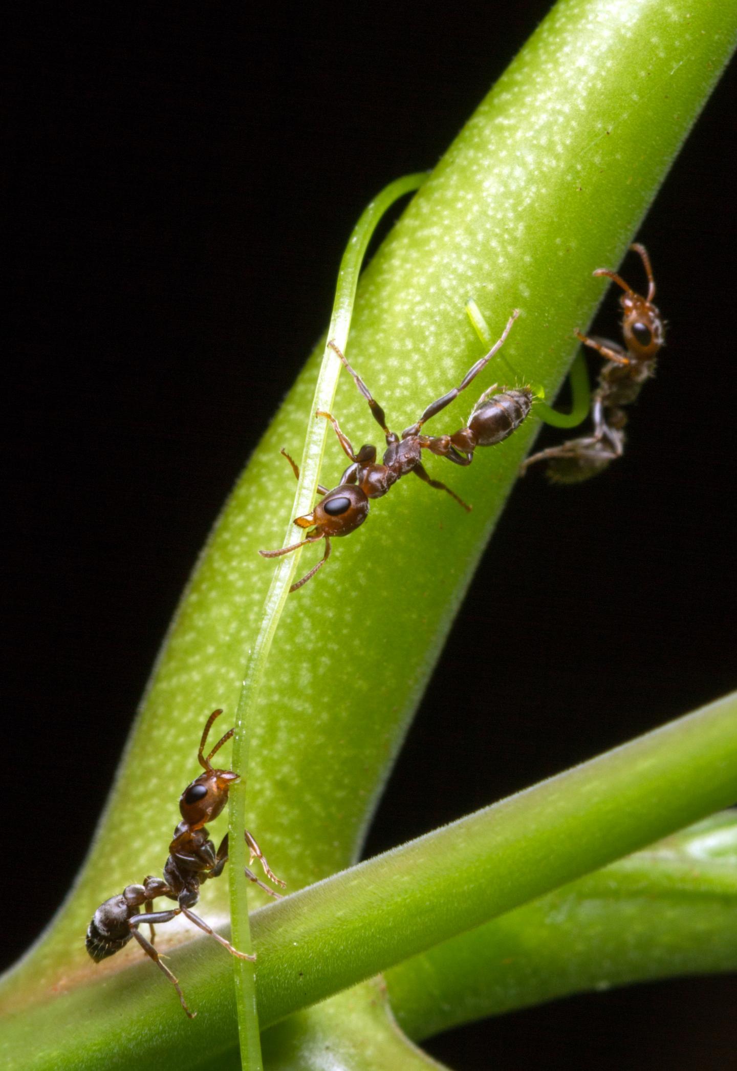 <i>Acacia</i> Ants Vertical 1