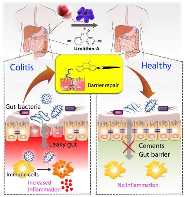 Tightening of Gut Barrier Cells