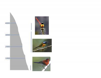 Sunbird Species by Elevation