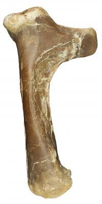 Right Humerus of Cryodrakon boreas