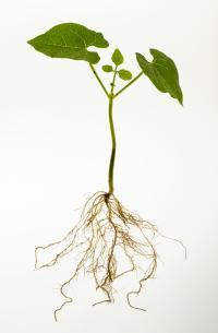 Common Bean Seedling