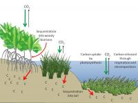Carbon Sequestration in Coastal Ecosystems