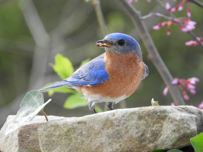 Bluebird Feeding on Mealworms