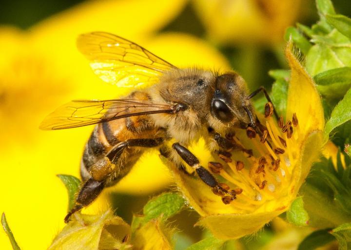 A Honey Bee Feeds on a Flower