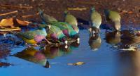 Gouldian Finch Group Drinking, Wyndham, Kimberley, Western Australia