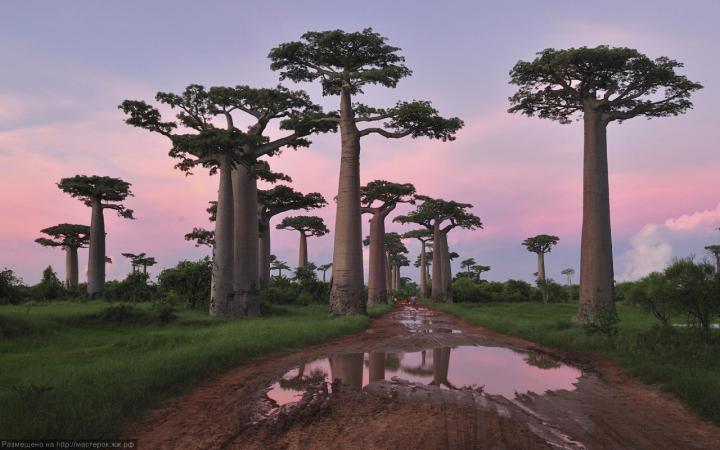 <em>Palmate Adansonia</em>