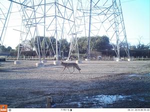 Coyote in the LA metro area