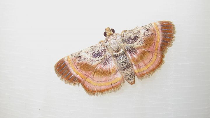 One of the Studied Moth Species Spreading Its Wings