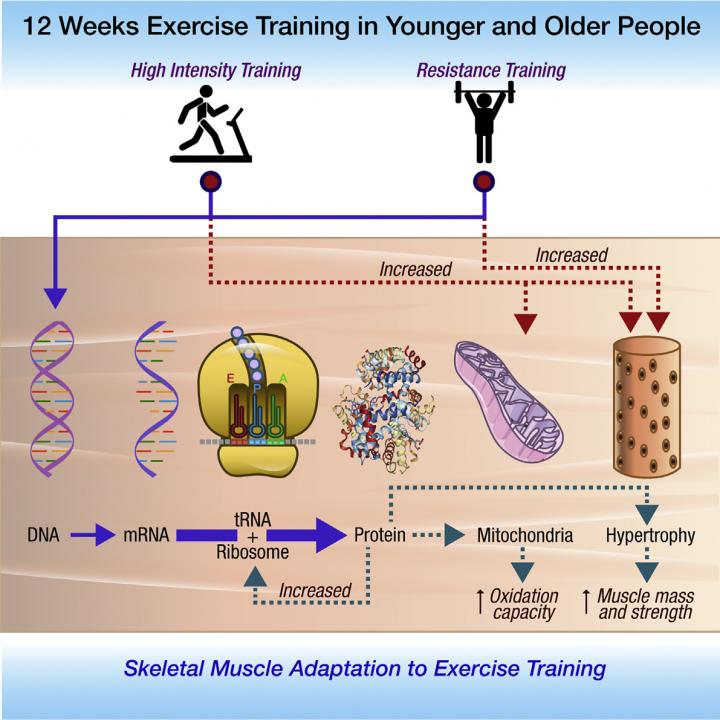High Intensity Interval Training and Skeletal Muscle